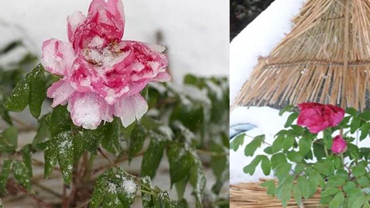 праздник зимнего цветения пионов